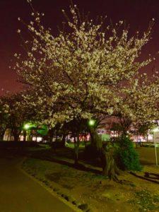(あいりん)桜を見てきました☆ミ